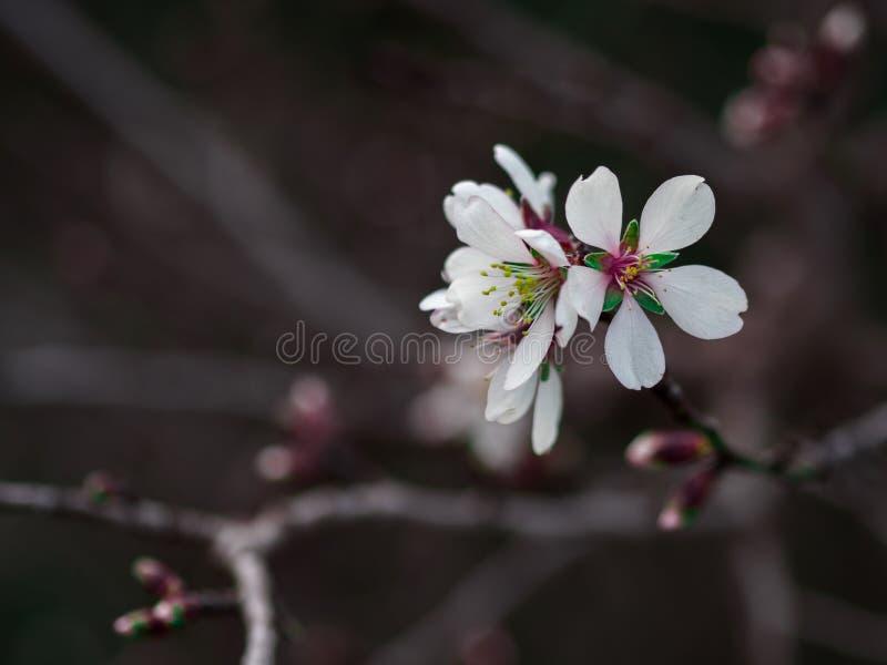 杏树花宏观摄影 库存图片