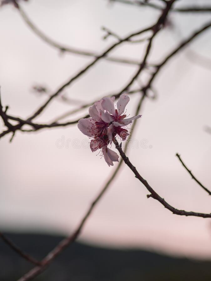 杏树花宏观摄影 图库摄影