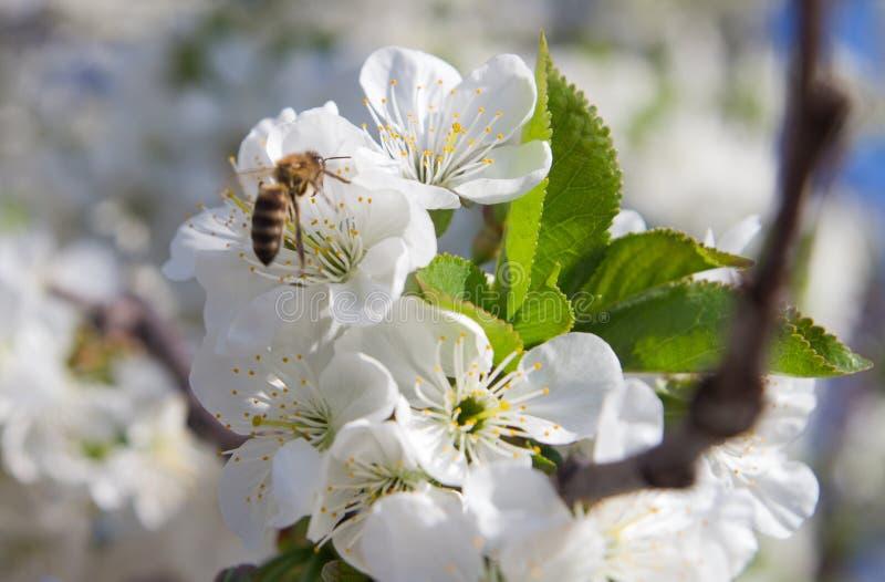 杏树花,反弹自然,墙纸花卉背景  免版税库存图片