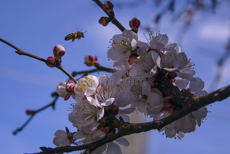 杏树花 苦干者蜂 开花的树 库存照片