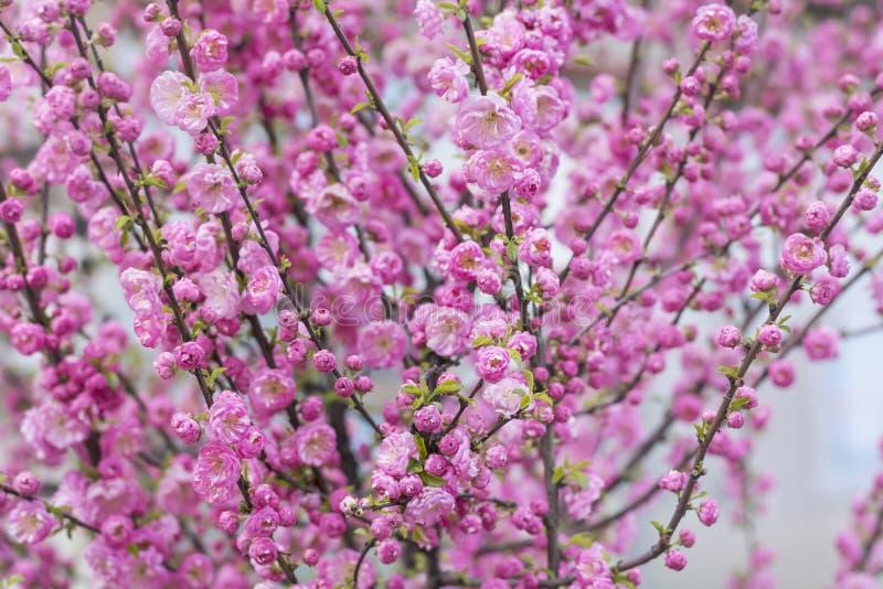 杏仁桃红色开花的灌木背景 免版税库存图片