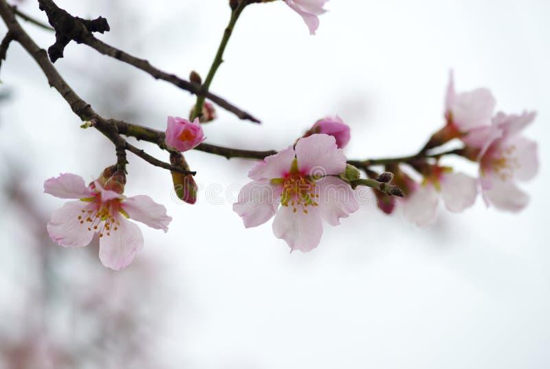 杏仁特写镜头花在春天 图库摄影