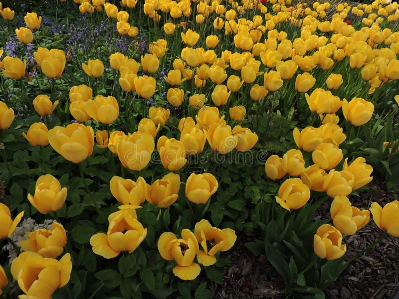 杜娟花开花浅关闭dof的花出现 库存图片