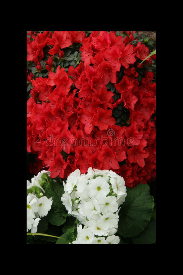 杜娟花红色、喇叭花、黄色黄水仙、蝴蝶花、snapdragon和万寿菊,美好的花绿草背景黑色白色 免版税库存图片