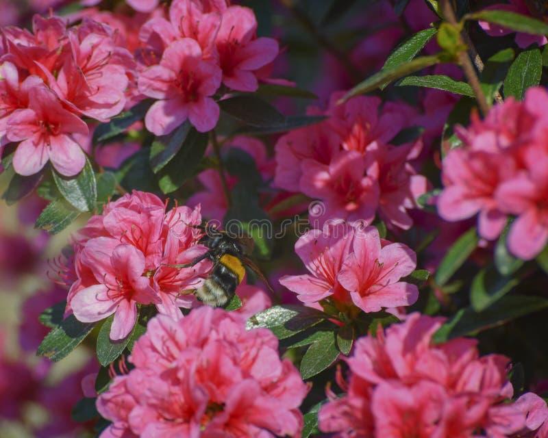 杜娟花罗莎国王 相当苍劲的日本杜娟花,反对有吸引力的常青叶子的豪华深桃红色的开花 图库摄影