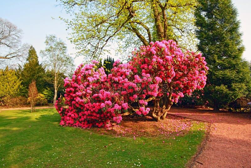 杜娟花美丽的老公园结构树 免版税库存图片