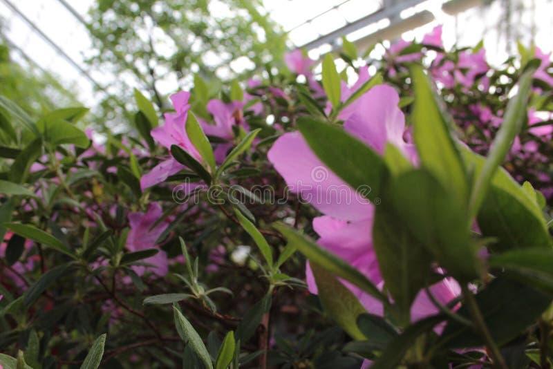 杜娟花美丽的花  免版税库存图片
