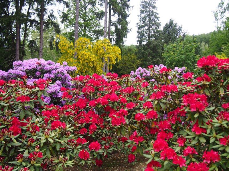 杜娟花花红色和桃红色、金黄链子和针叶树树树木园在Glinna,波兰2019年5月 免版税图库摄影