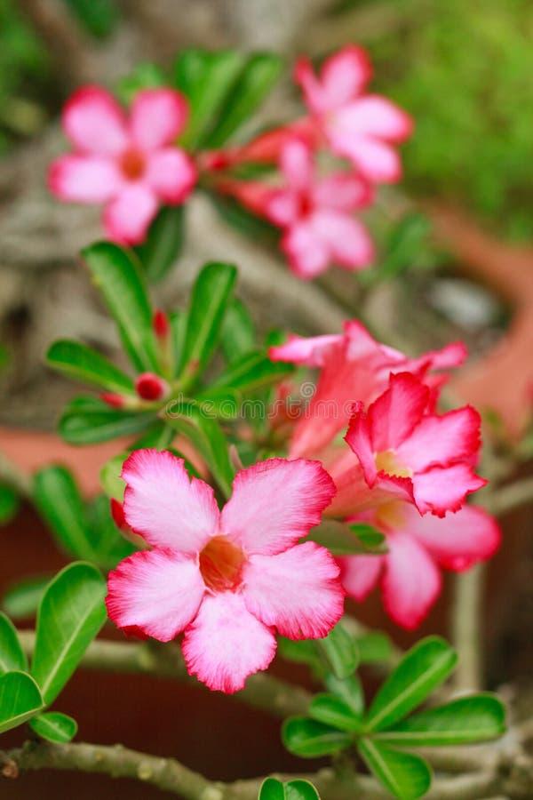 杜娟花花飞羚百合或沙漠玫瑰或嘲笑杜娟花美丽的白色&桃红色花和绿色Adenium multiflorum在g生叶 免版税库存图片