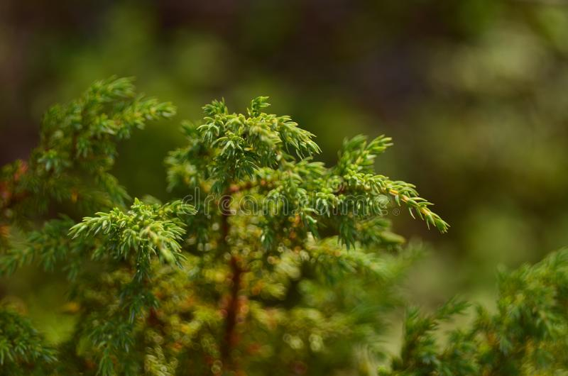 杜松在春天在阳光下的森林 库存照片