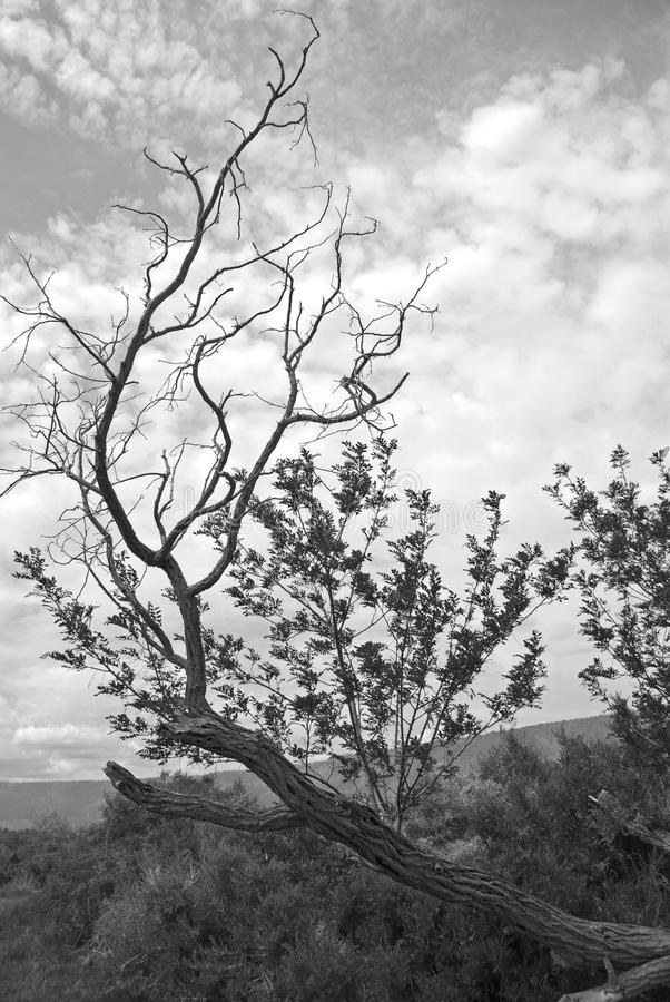 杜松天空的分支伸手可及的距离 免版税图库摄影