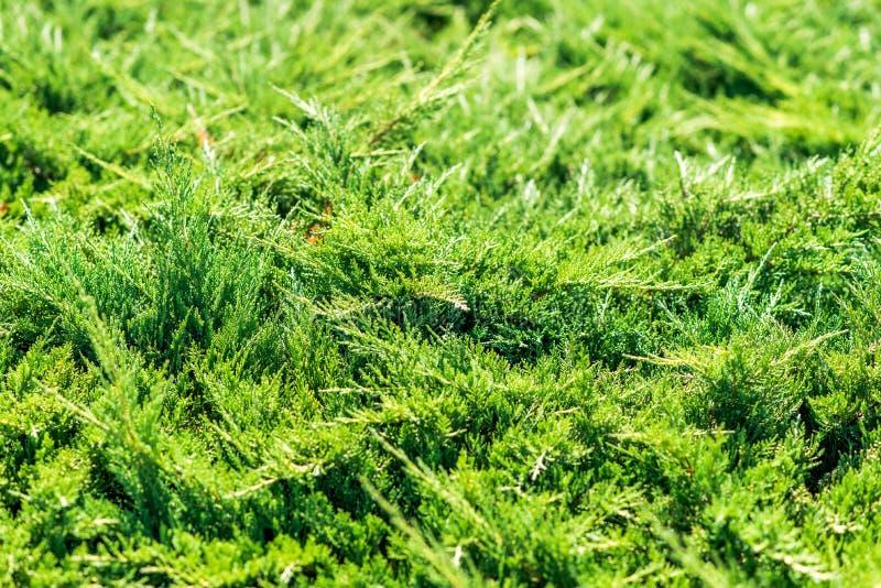 杜松植物在夏天 射击的五颜六色的关闭 免版税库存图片