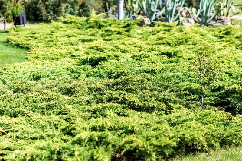 杜松植物在夏天 射击的五颜六色的关闭 免版税图库摄影