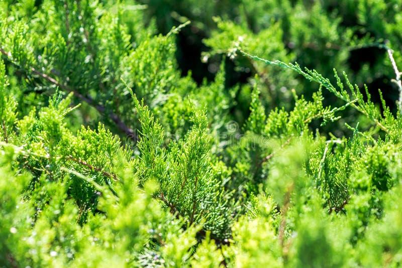 杜松植物在夏天 射击的五颜六色的关闭 图库摄影