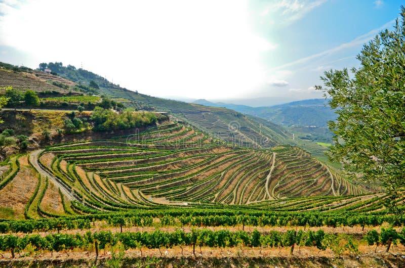 杜罗河谷:葡萄园和橄榄树在Pinhao,葡萄牙附近 库存照片