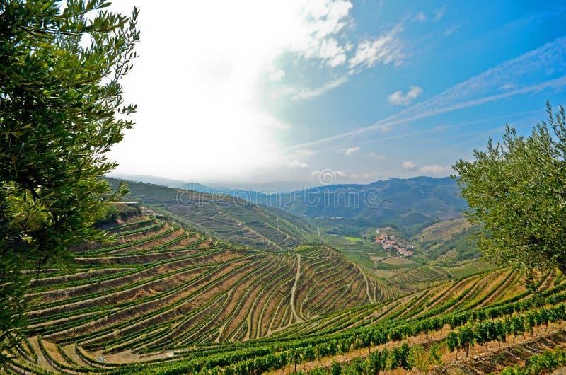 杜罗河谷:葡萄园和橄榄树在Pinhao,葡萄牙附近 图库摄影