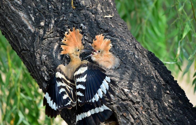 杜鹃和芦苇鸣鸟 免版税图库摄影