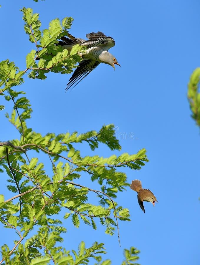 杜鹃和芦苇鸣鸟 库存图片