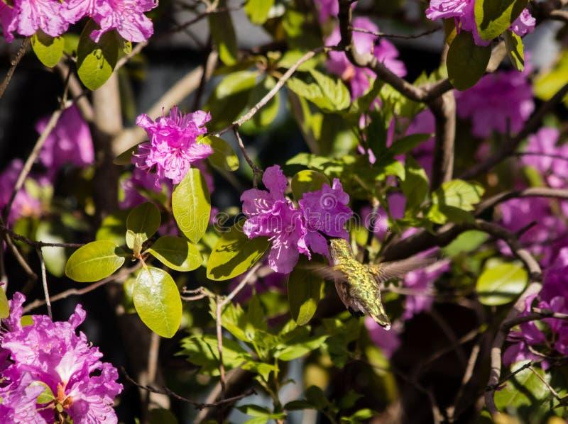 杜鹃花中的蜂鸟 库存照片