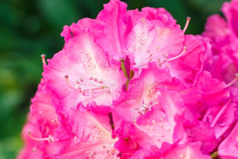 杜鹃花各种各样的颜色杜娟花花在春天从事园艺 免版税图库摄影