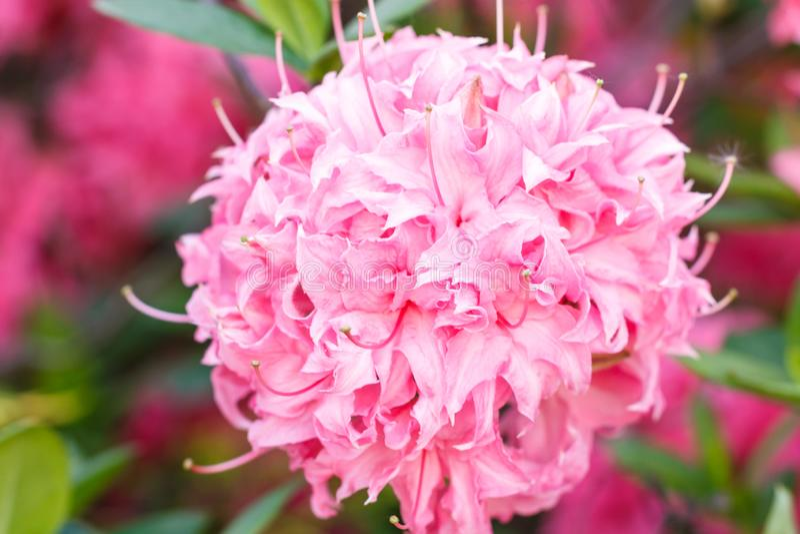 杜鹃花各种各样的颜色杜娟花花在春天从事园艺 库存照片