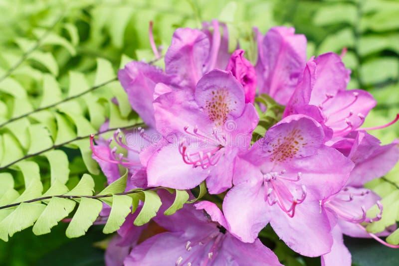 杜鹃花各种各样的颜色杜娟花花在春天从事园艺 免版税库存图片