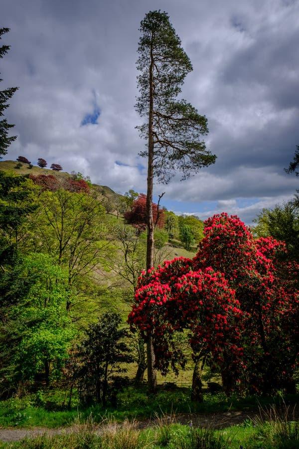 杜鹃花和松树 库存图片