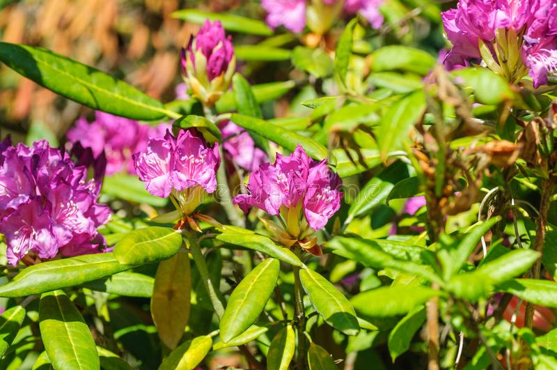 杜鹃花桃红色花新开花在早晨光 桃红色杜鹃花花 免版税库存照片
