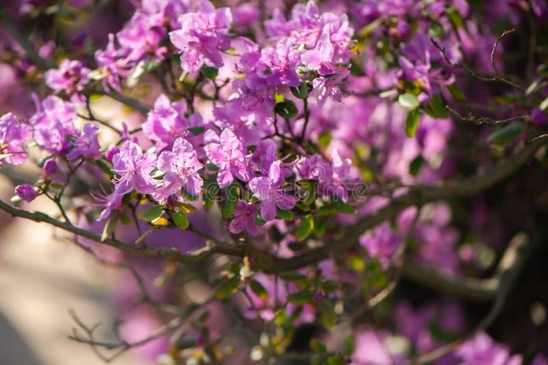 杜鹃花桃红色,淡紫色花新开花 样式,流程 库存照片