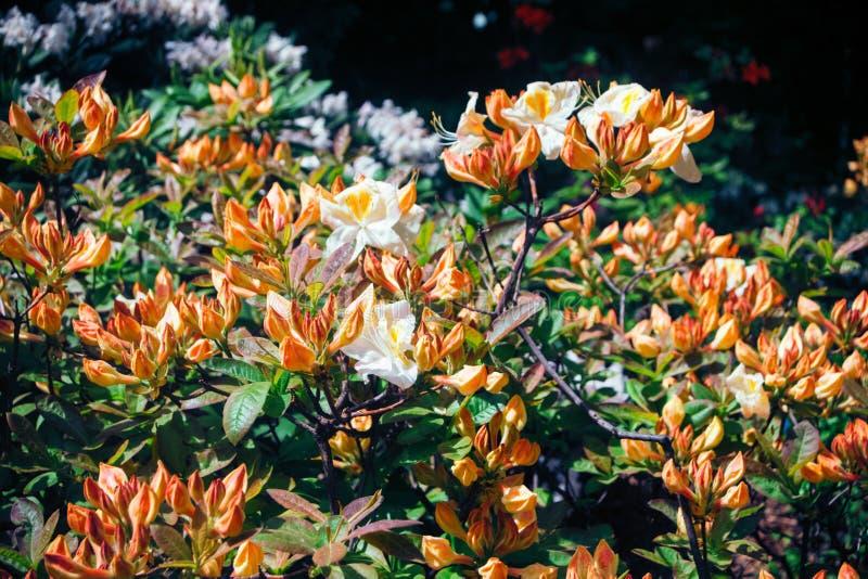 杜鹃花猛敲小山与橙色芽和白色大花的杂种灌木与在瓣的黄斑 免版税库存图片