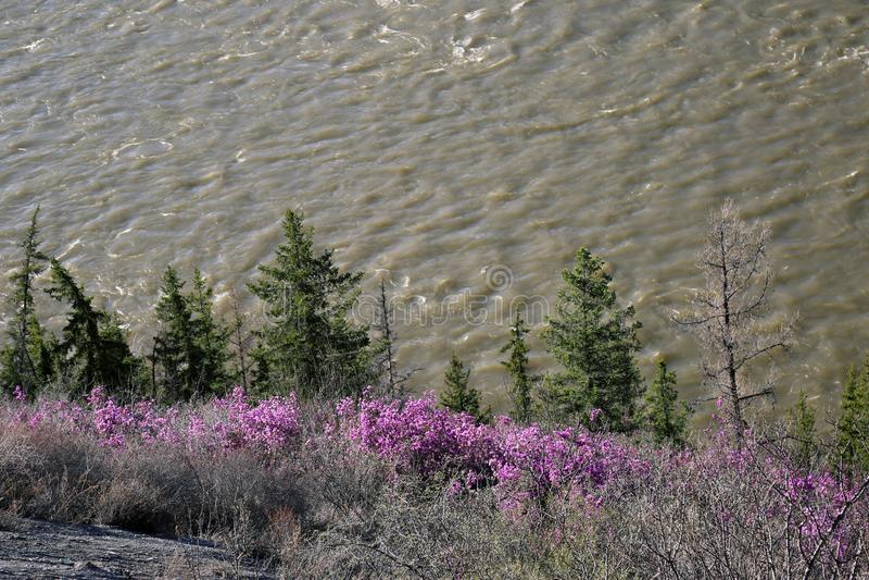 杜鹃花的桃红色灌木在毛皮树背景的在河的 库存图片