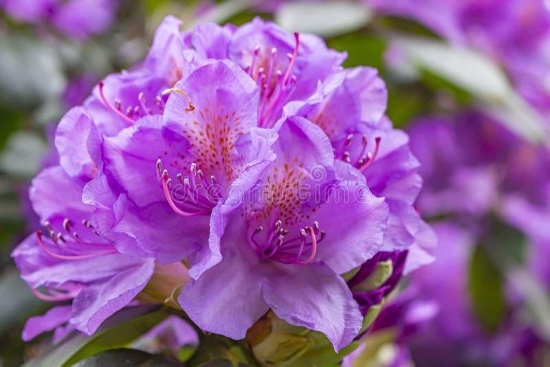 杜鹃花的美丽的紫罗兰色桃红色花在日本庭院里在公园Clingendael,海牙 免版税库存图片