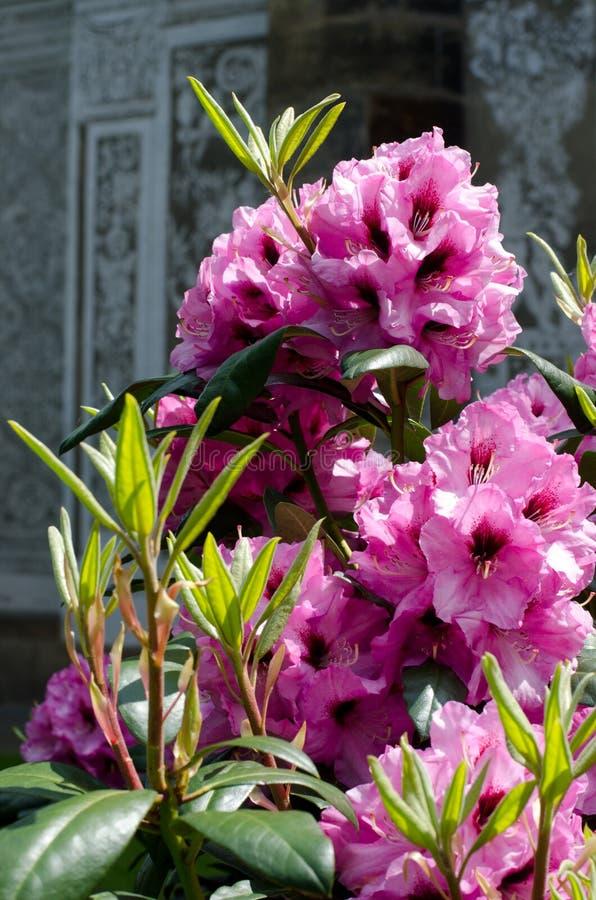 Download 杜鹃花 库存图片. 图片 包括有 beauvoir, 绿色, 植物群, 详细资料, 杜鹃花, 开花的, 紫色 - 62534719