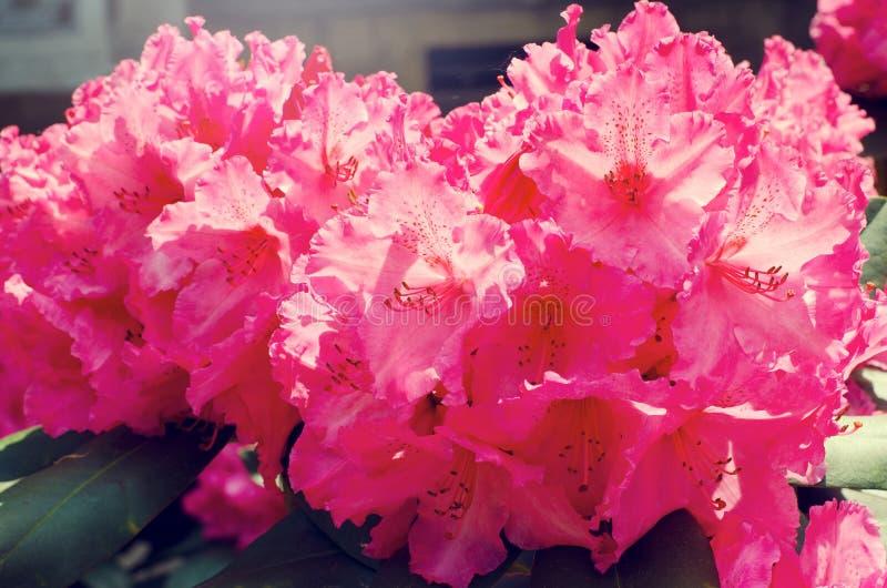 Download 杜鹃花 库存图片. 图片 包括有 绽放, 紫色, 庭院, beauvoir, 开花的, 春天, 季节, 本质 - 62535059