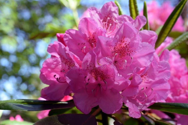 杜鹃花viscosum、亦称沼泽杜娟花或者阴湿黏黏的杜娟花 库存照片
