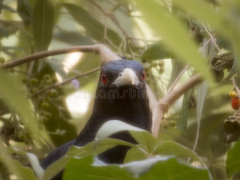 杜鹃鸟 库存照片
