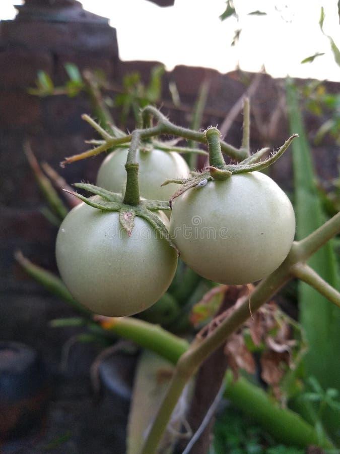 束三绿色白色蕃茄 免版税库存照片