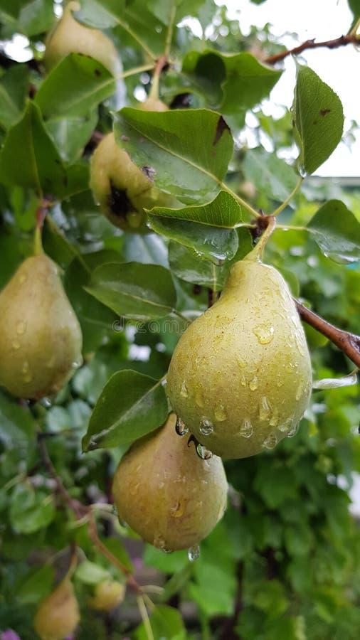 束与雨的未成熟的黄绿色梨下降 免版税库存照片