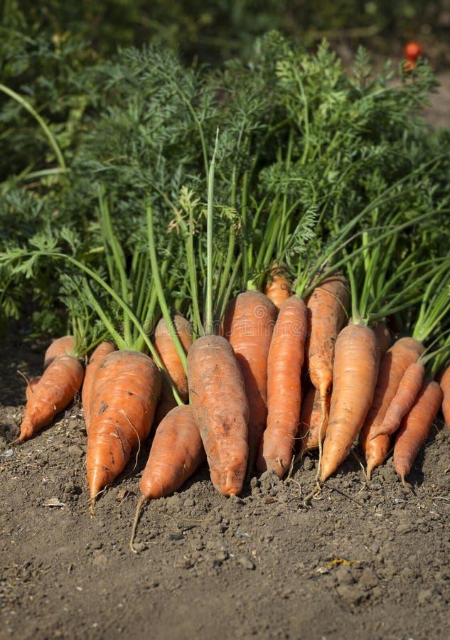 束与绿色的红萝卜在地面上离开 免版税库存照片