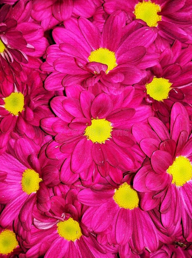 束充满活力的颜色开花背景的菊花 图库摄影