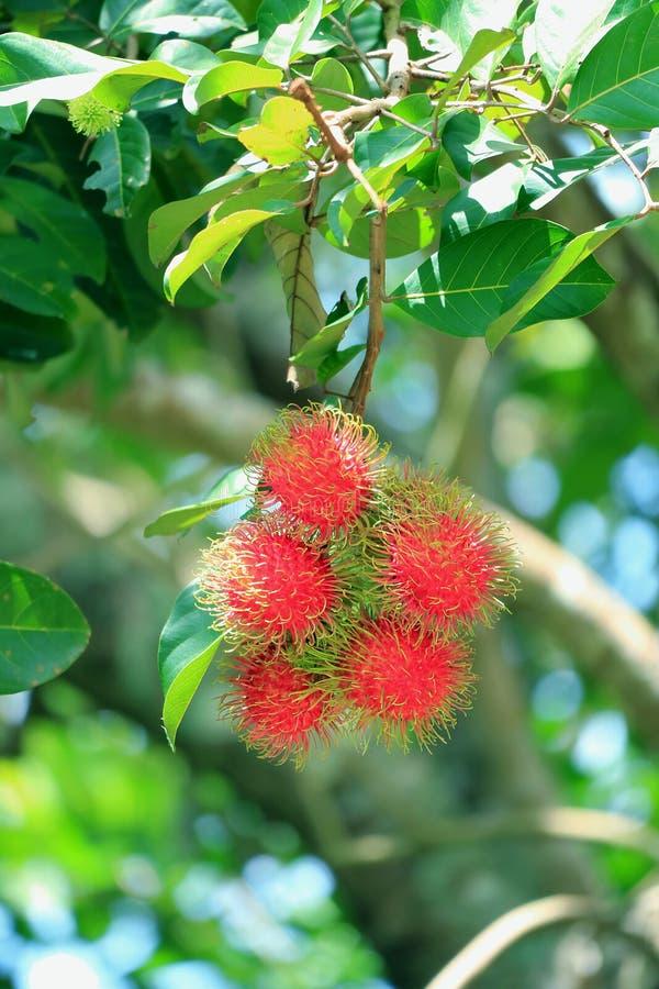 束准备好是被收获的成熟红毛丹在树结果实 库存照片