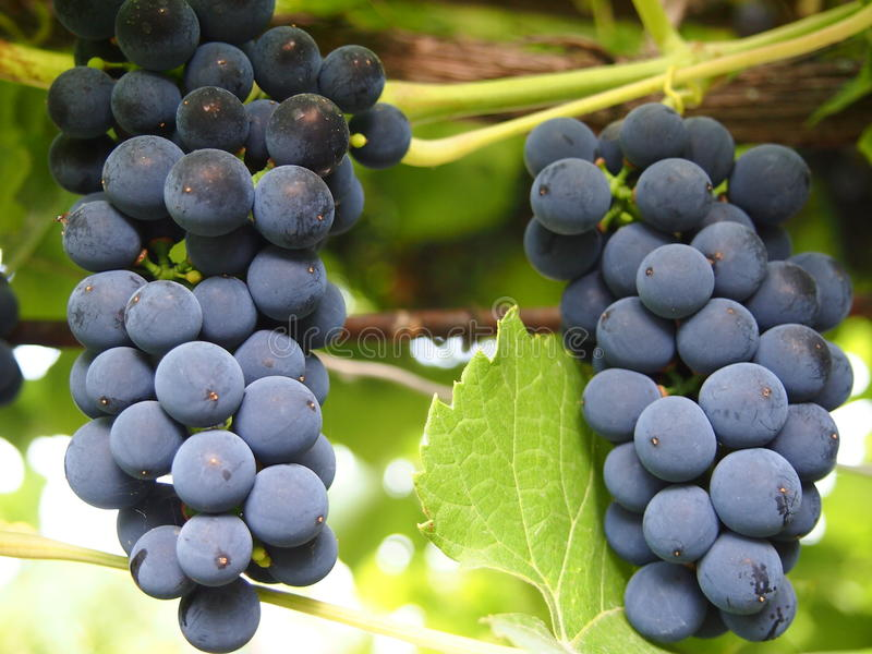 束剪报葡萄包括的路径 图库摄影