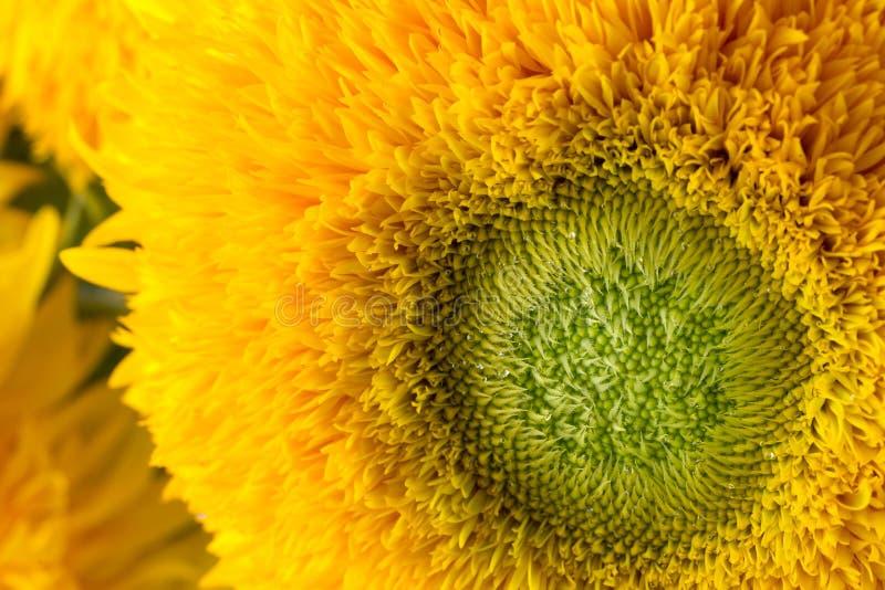 束向日葵在一个玻璃花瓶的玩具熊 有多朵大黄色金黄双重花的一棵矮小的向日葵植物 库存照片