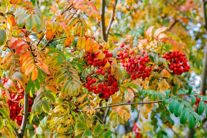束在一个分支的成熟红色山脉灰在一个秋天晴天 免版税库存图片