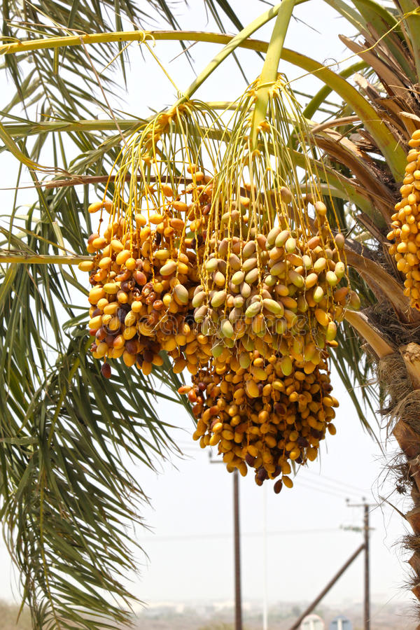 束在一个枣椰子的未成熟的日期在迪拜, 2017年6月26日的阿拉伯联合酋长国 免版税库存图片