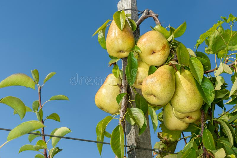 束在一棵种类树的梨与袜带附有格子 工业农厂庭院 库存图片