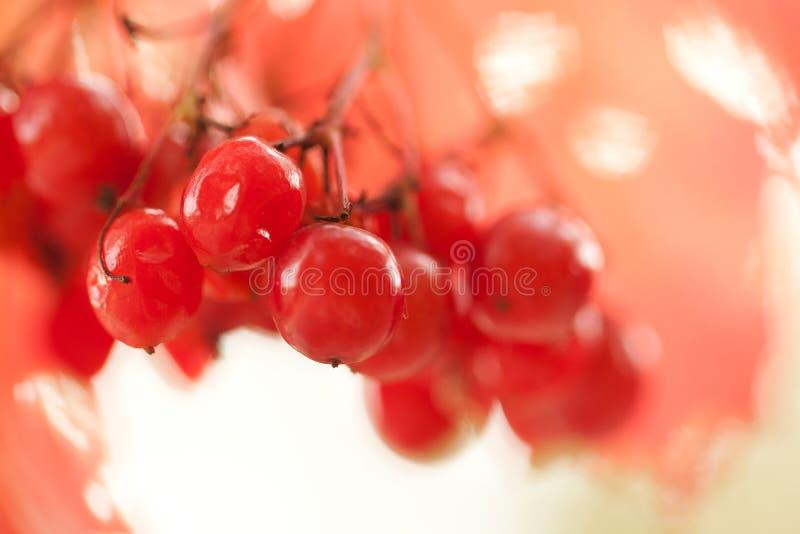 束在分支的红色成熟荚莲属的植物莓果 图库摄影
