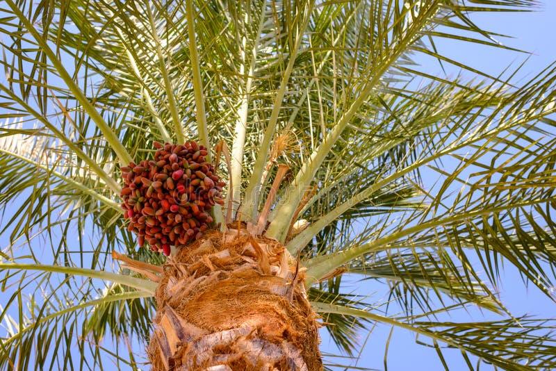 束在枣椰子的日期 图库摄影