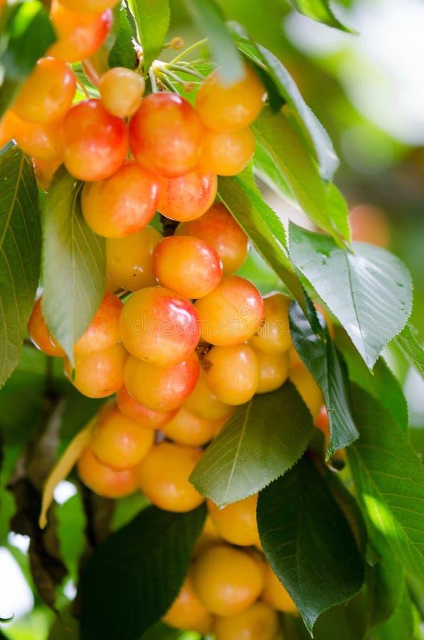 束在树的白色樱桃 库存照片