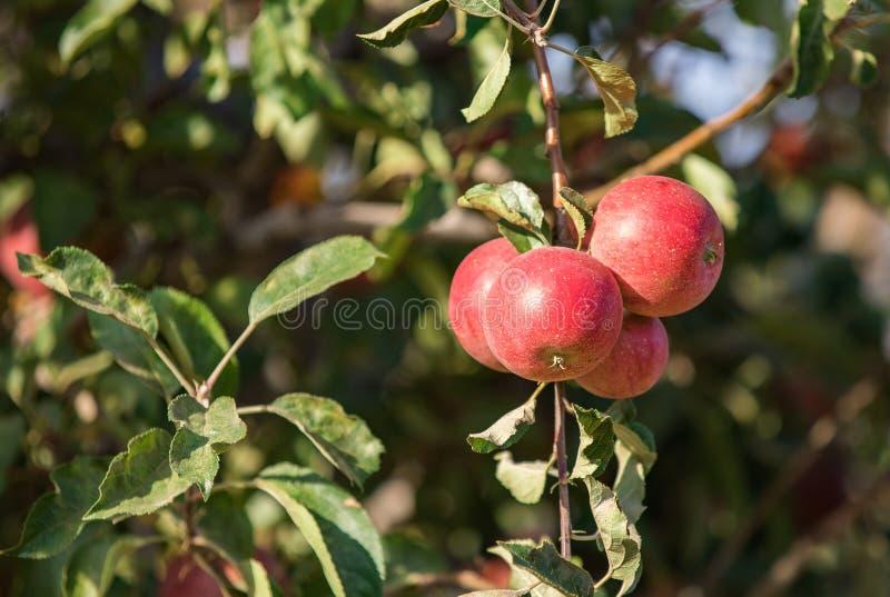 束在树的红色苹果 免版税图库摄影